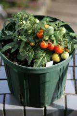 トムミニトマト 36粒 F1品種