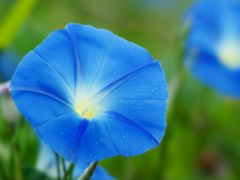 アサガオの種〜水色の花びら〜 5粒