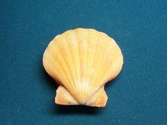 貝の標本(現生)ツヅレキンチャクの貝殻 46mm