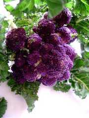 抗癌作用が高い紫茎ブロッコリー 5粒 新品種