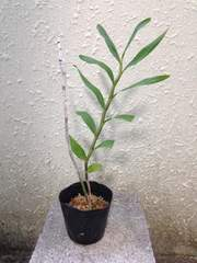 洋蘭原種 Den.moschatum