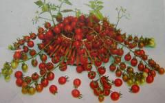 超甘い赤真珠 ミニトマト 3粒