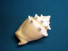貝の標本(現生)ソデボラの貝殻 67mm