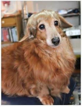 SALE【オリジナル】Wigs2you☆P-038☆犬☆猫☆ペットウィッグ